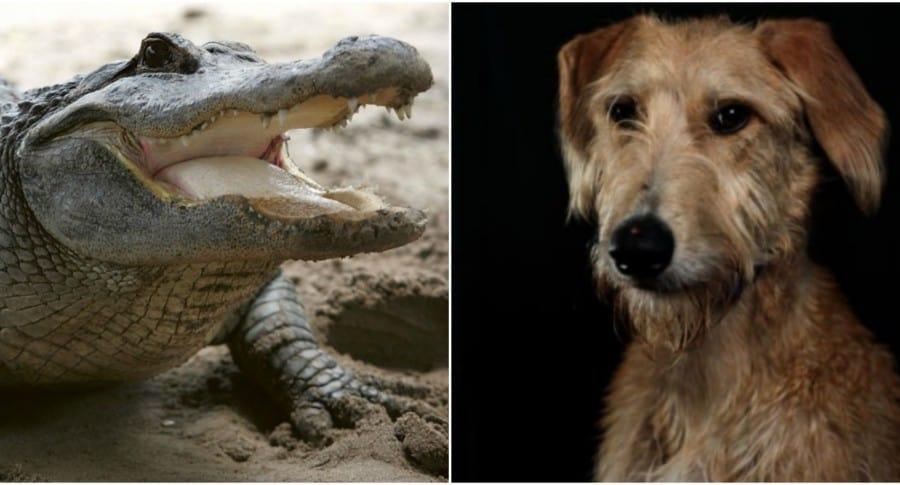 Cocodrilo y perro. Pulzo.