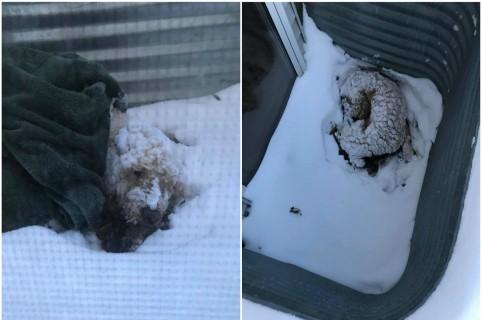 Perro que sobrevivió 5 días en la nieve. Pulzo.