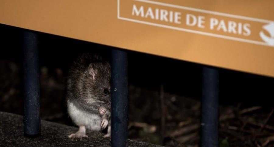Rata en París