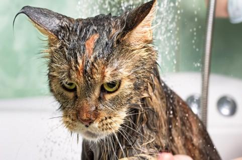 Gato en el baño. Pulzo.