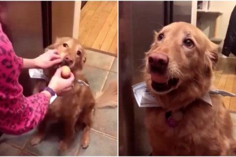 Perro golden retriever sostiene huevo en la boca. Pulzo.