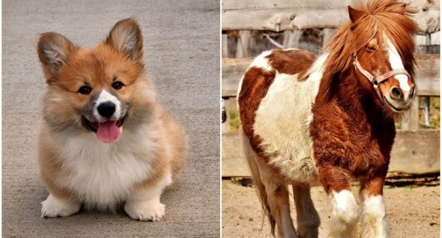 Perro de raza corgi / poni.