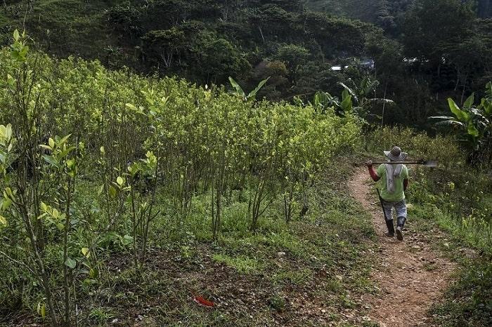 Hombre caminando por entre cultivo de coca