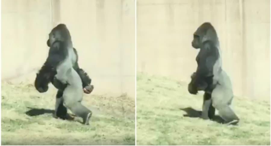 Gorila camina en dos patas.