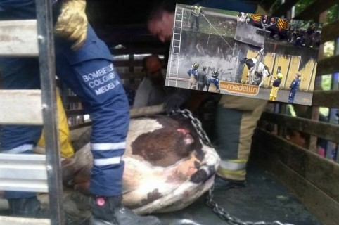 Rescate a vaca en Medellín