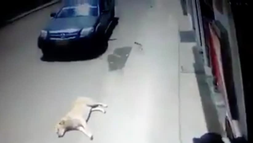 Carro pasando por encima de perro