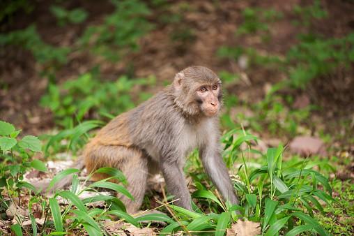 Macaco rhesus