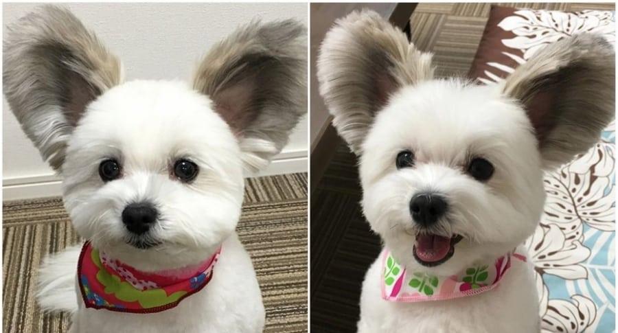 Perro con orejas de Mickey.