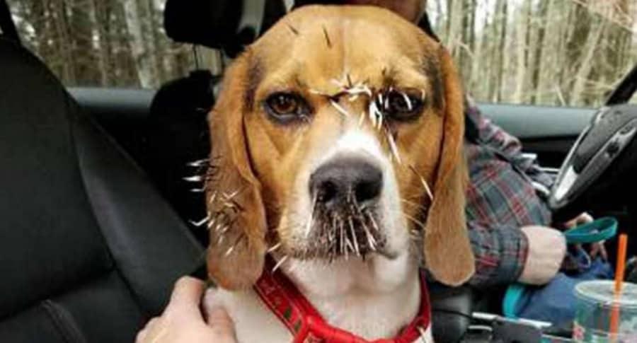 Perro con espinas de puercoespín.