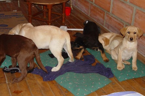 Cachorros rescatados después de que les implantaran heroína líquida