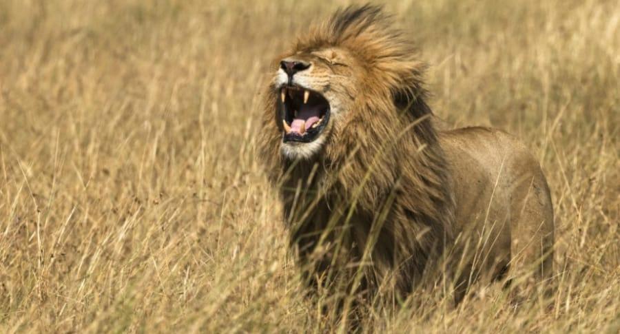 León ruge.