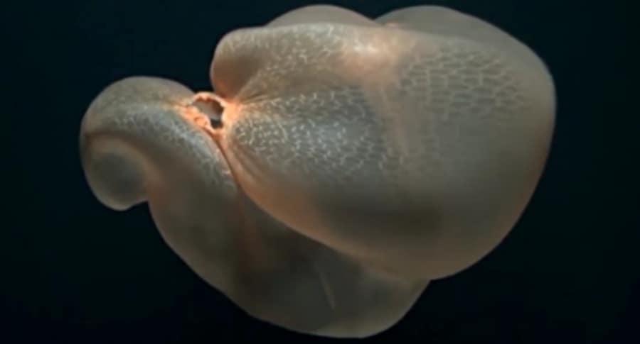 Medusa sin tentáculos.