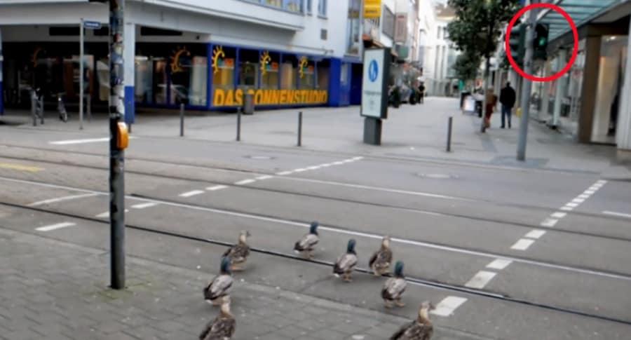 Patos cruzan vía.