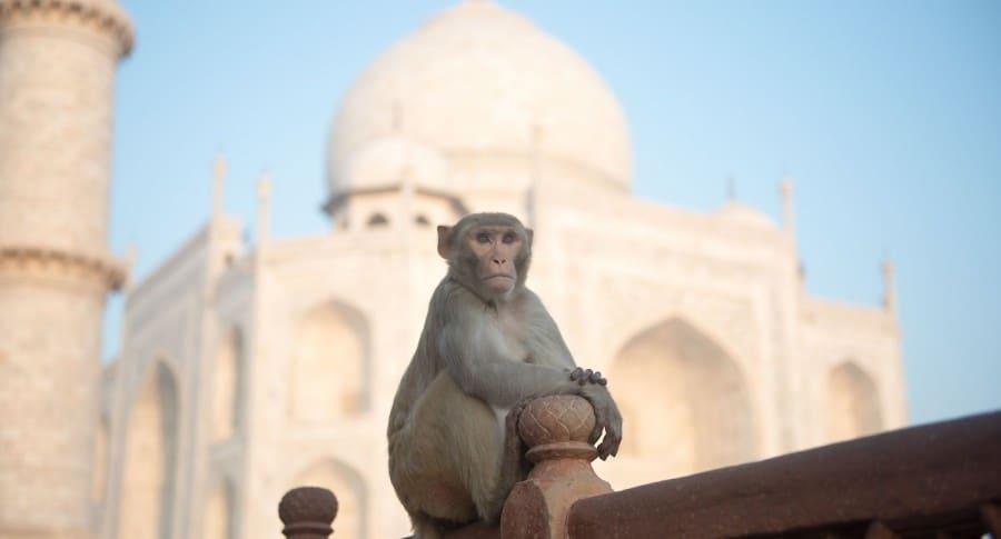 Mono en el Taj Mahal