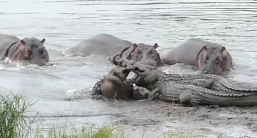 Hipopótamos salvan a ñu de ataque de cocodrilos.