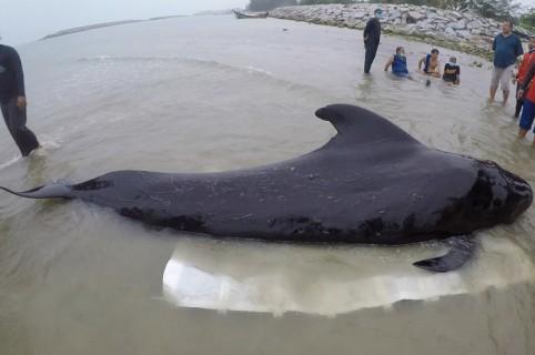 Ballena intoxicada por plástico en el mar