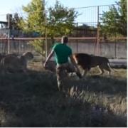Hombre espanta a leonas con chancleta.