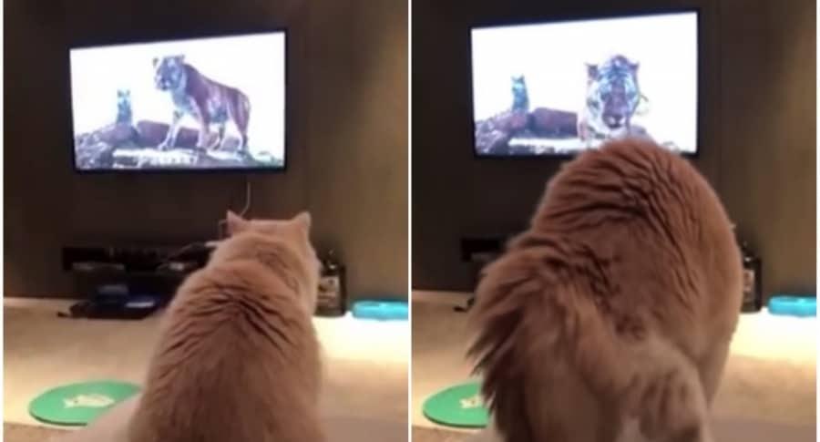 Gato se asusta con tigre de una película.