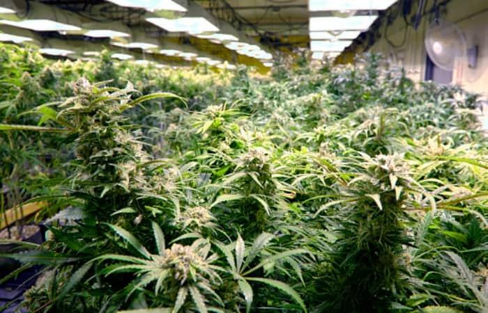 Empresas que trabajan con marihuana