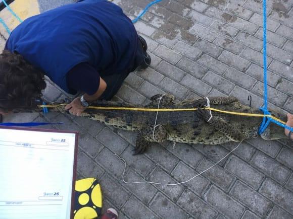 cocodrilo en San Andres