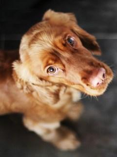 Perro con cara de culpable.