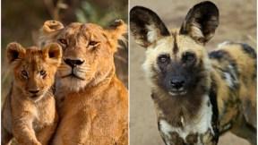 Leona y su hijo / perro salvaje.