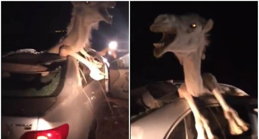 Camello atrapado en un carro.