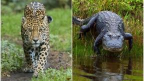 Jaguar / caimán.
