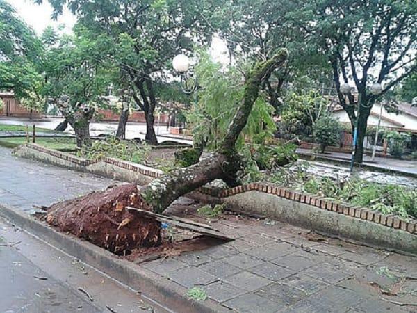 Árbol tumbado por los vientos.