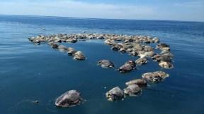 Tortugas muertas en México
