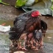 Gallina proteje a sus crias en la India