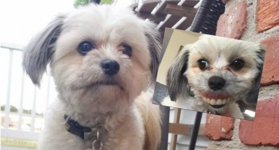 Perro con dentadura humana postiza.