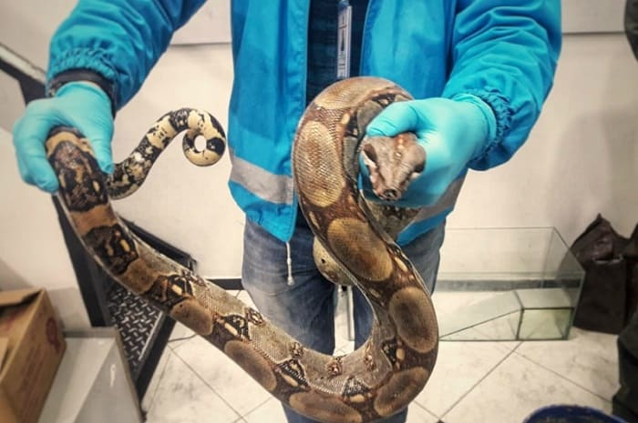 Boa constrictor rescatada