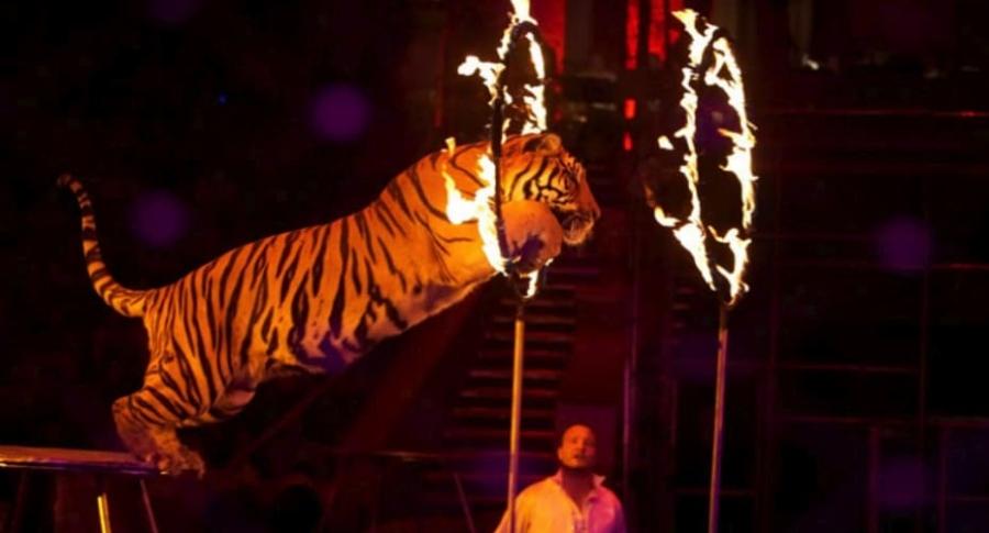 Tigre atraviesa aro de fuego.