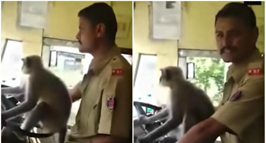 Hombre deja que mico conduzca.