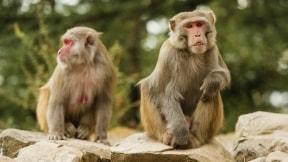 Micos macacos.