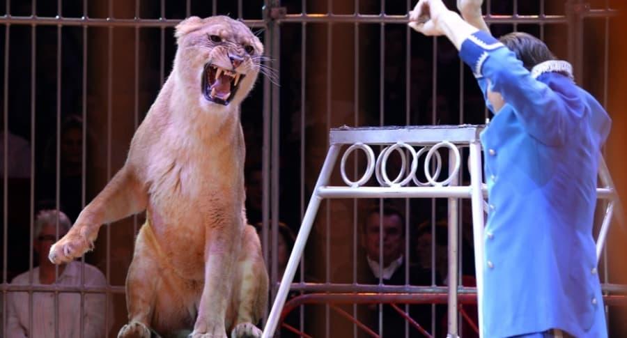Leona en un circo.