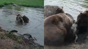 Osos se comen a loba en un zoológico de Holanda