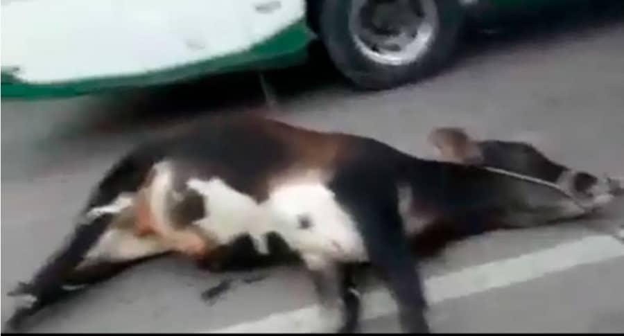 Maltrato a un ternero en carretera de Cundinamarca