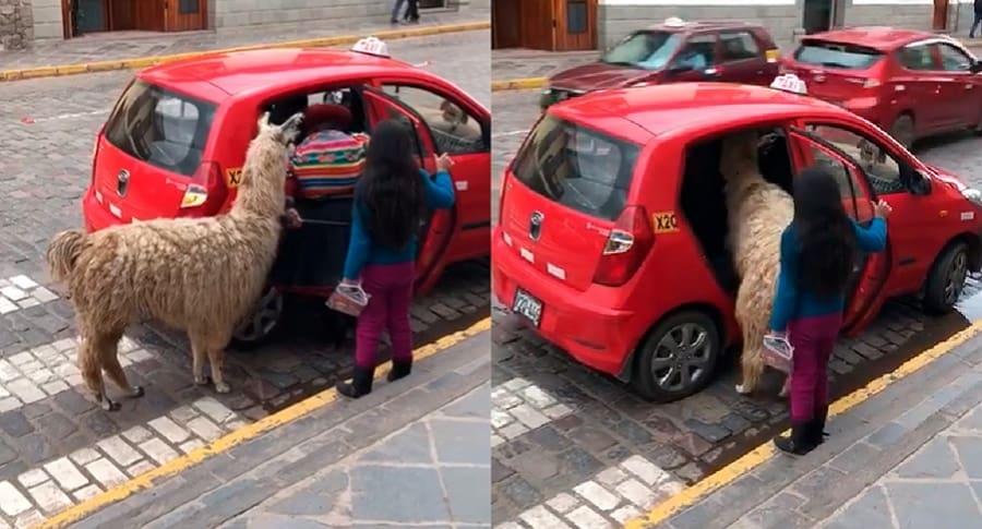 Llama subiendo a un carro rojo