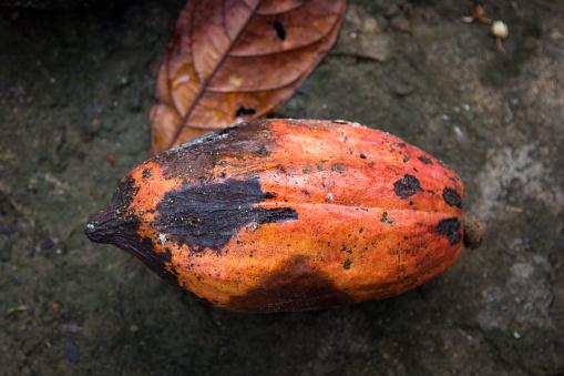 Fruto del cacao