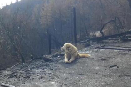 Madison, el perro que esperó un mes en las cenizas