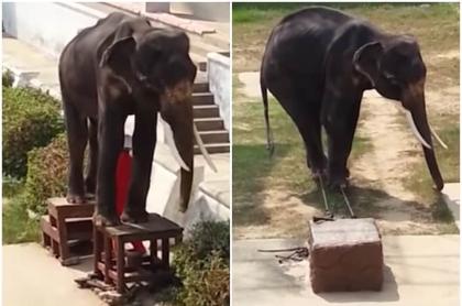 Elefanta desnutrida.