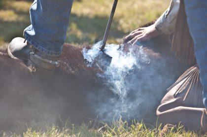 Vaca marcada con hierro caliente