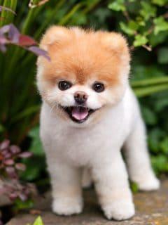 [Fotos] Murió el 'perro más lindo del mundo' de pena moral