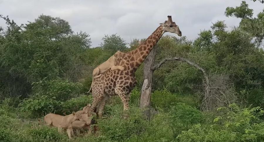 Leonas atacan a jirafa.