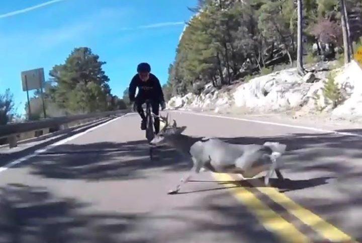 Choque de ciclista y venado