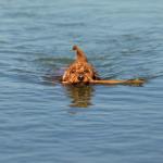 Perro en un lago.