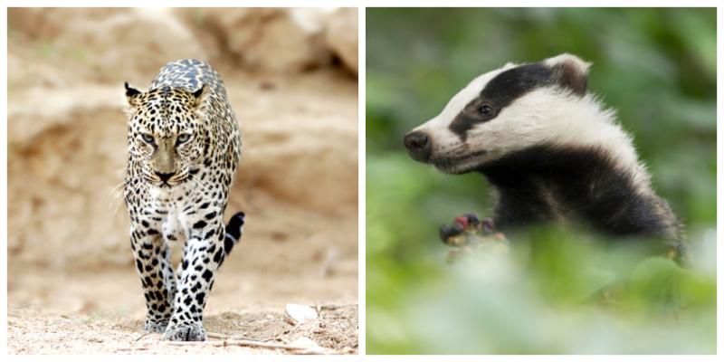 Leopardo y Tejón