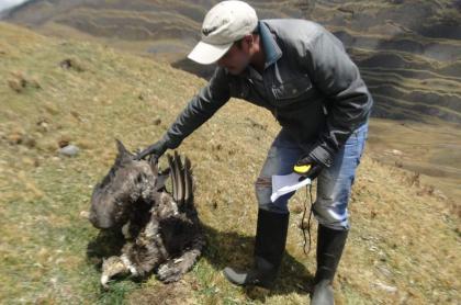 Cóndor andino muerto